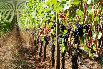 Rockne Roll/yamhillvalley.com<br><b>Grapes ready to be harvested at Stoller Vineyard.</b>
