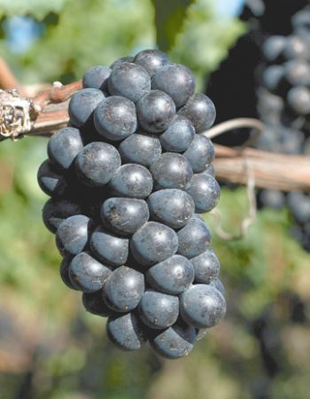 Pinot Noir ripens in anticipation for harvest.